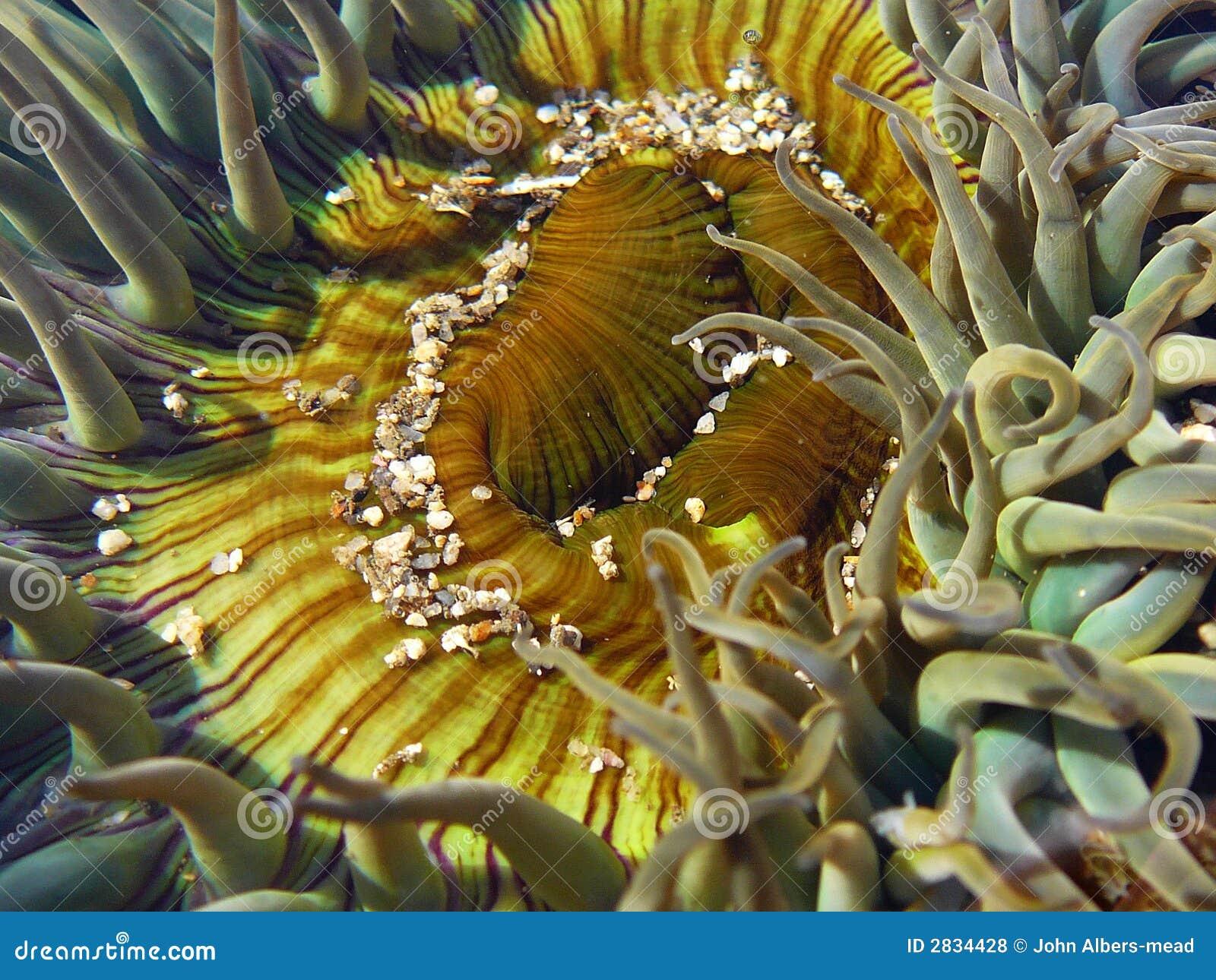 Sola άμμου anemone
