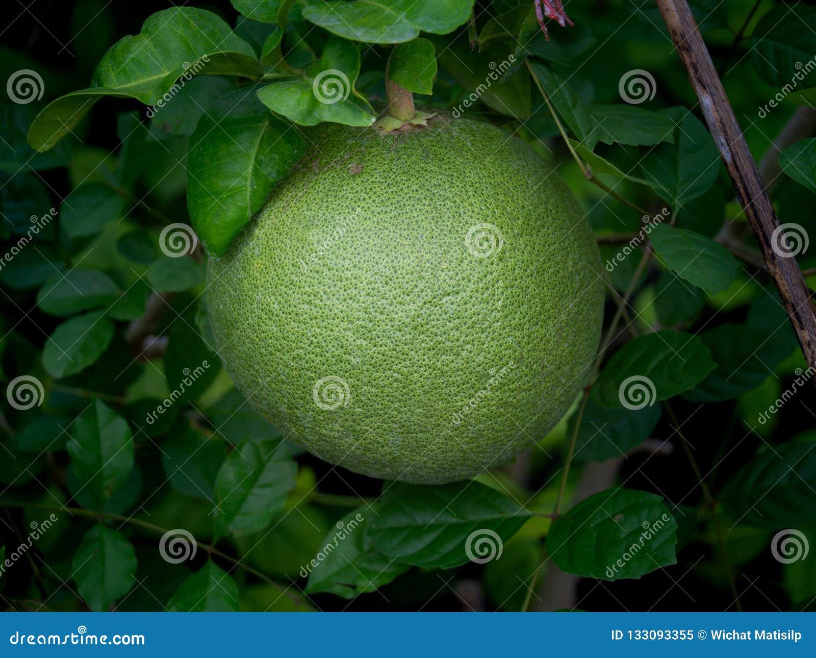Sola ejecución de la fruta del pomelo