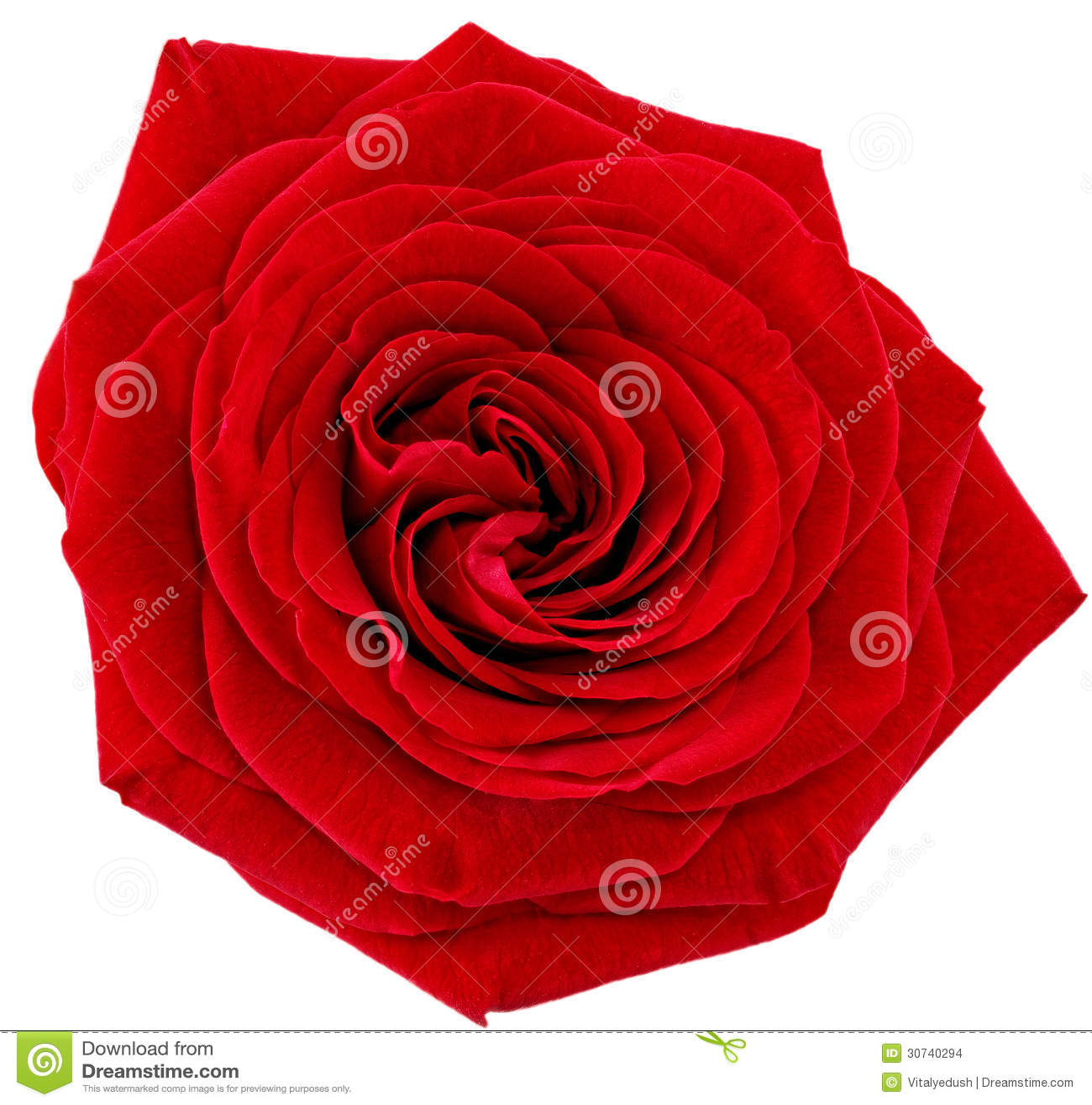sola flor hermosa de la rosa del rojo aislado foto de archivo