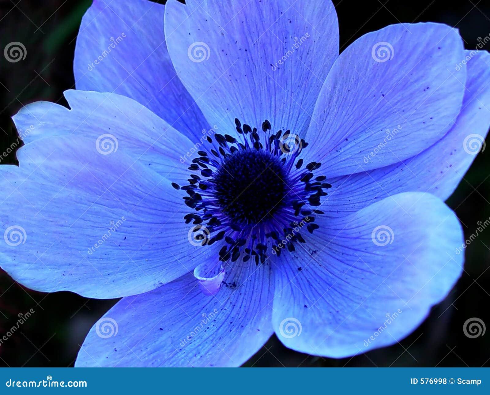 Sola macro azul de la flor