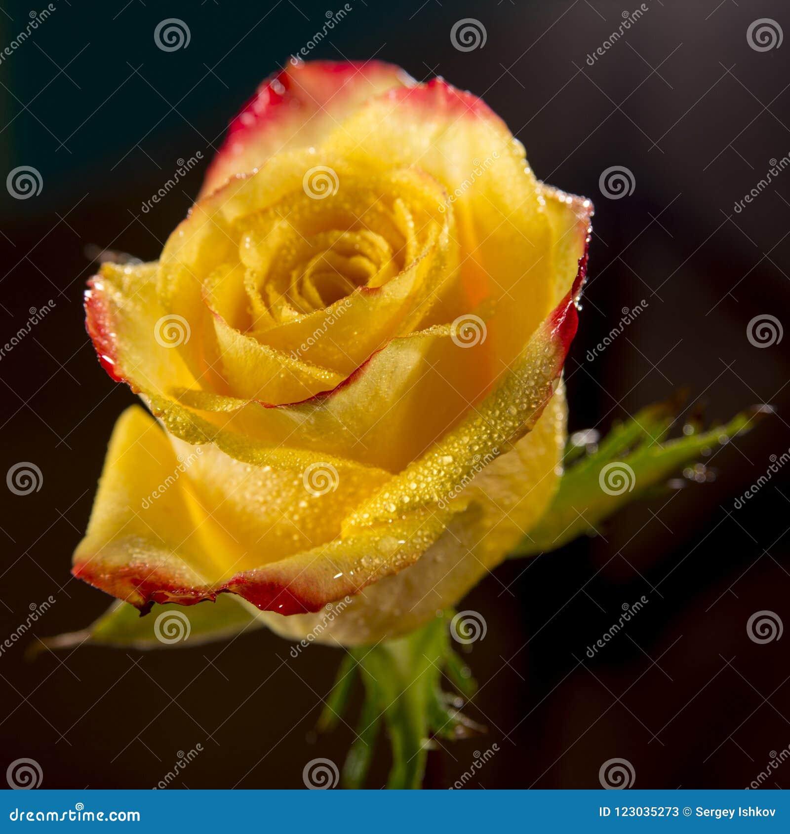 Sola rosa mojada brillante del amarillo con los bordes rojos de pétalos, muchas gotitas de agua brillantes en la flor y fondo osc