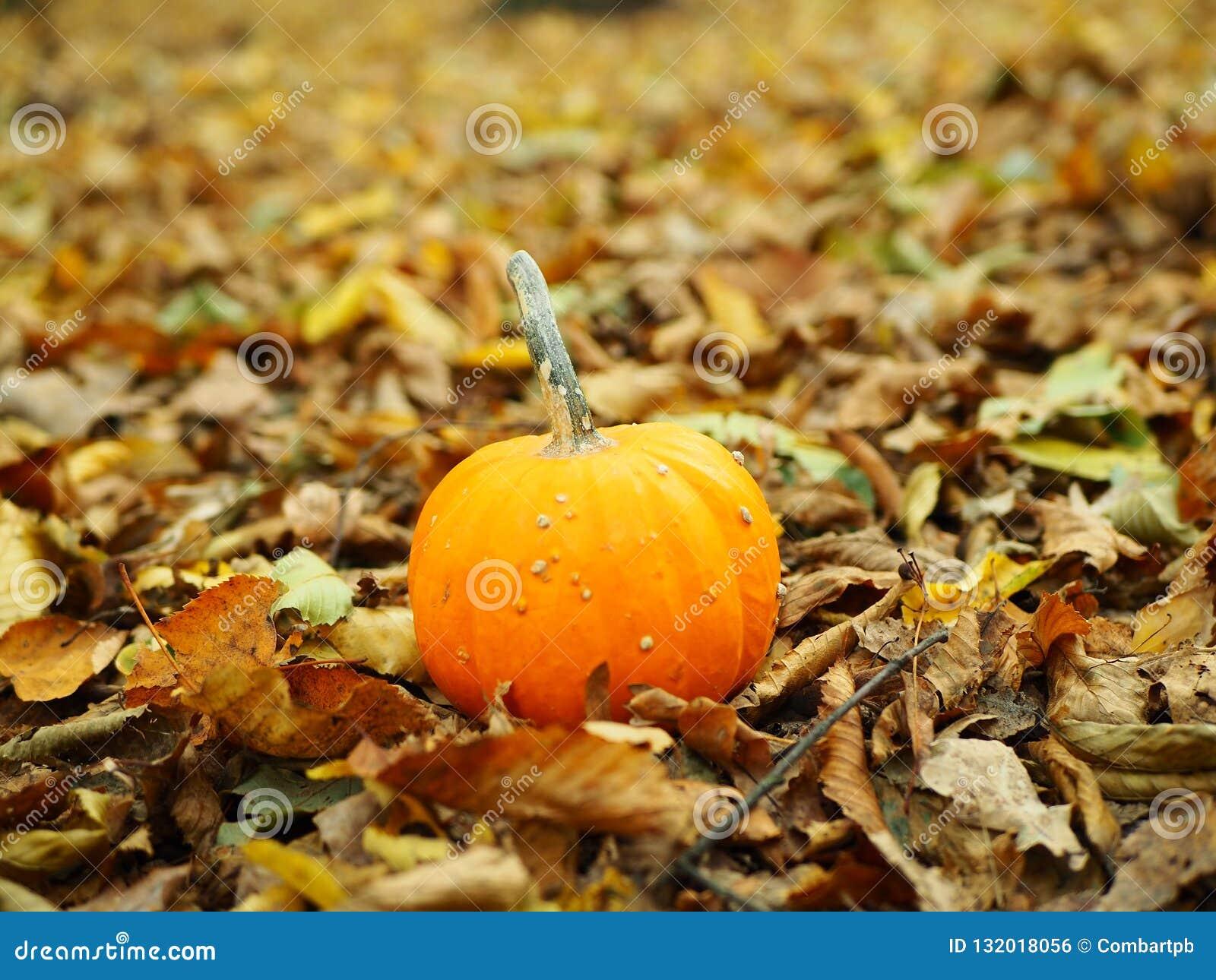 Solamente calabaza anaranjada grande con las hojas de la caída en la puesta del sol del otoño