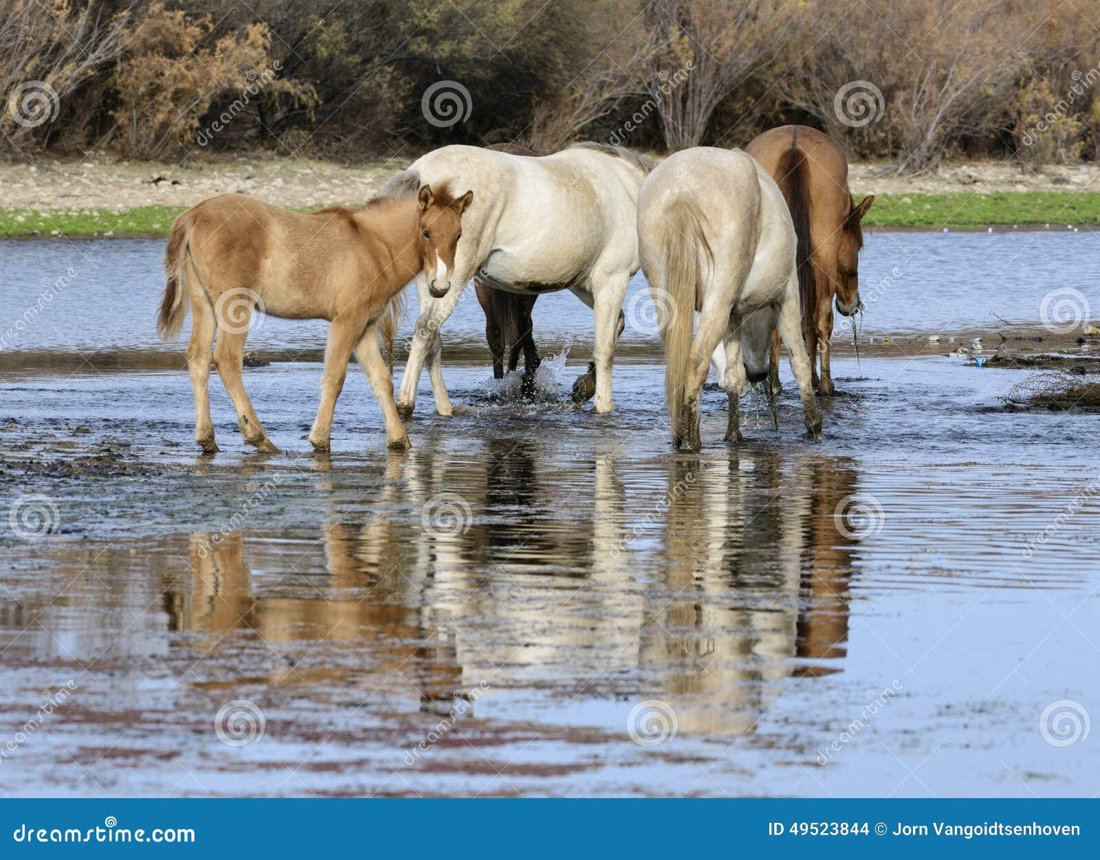 Solankowy Rzeczny dzikiego konia źrebak w rzece