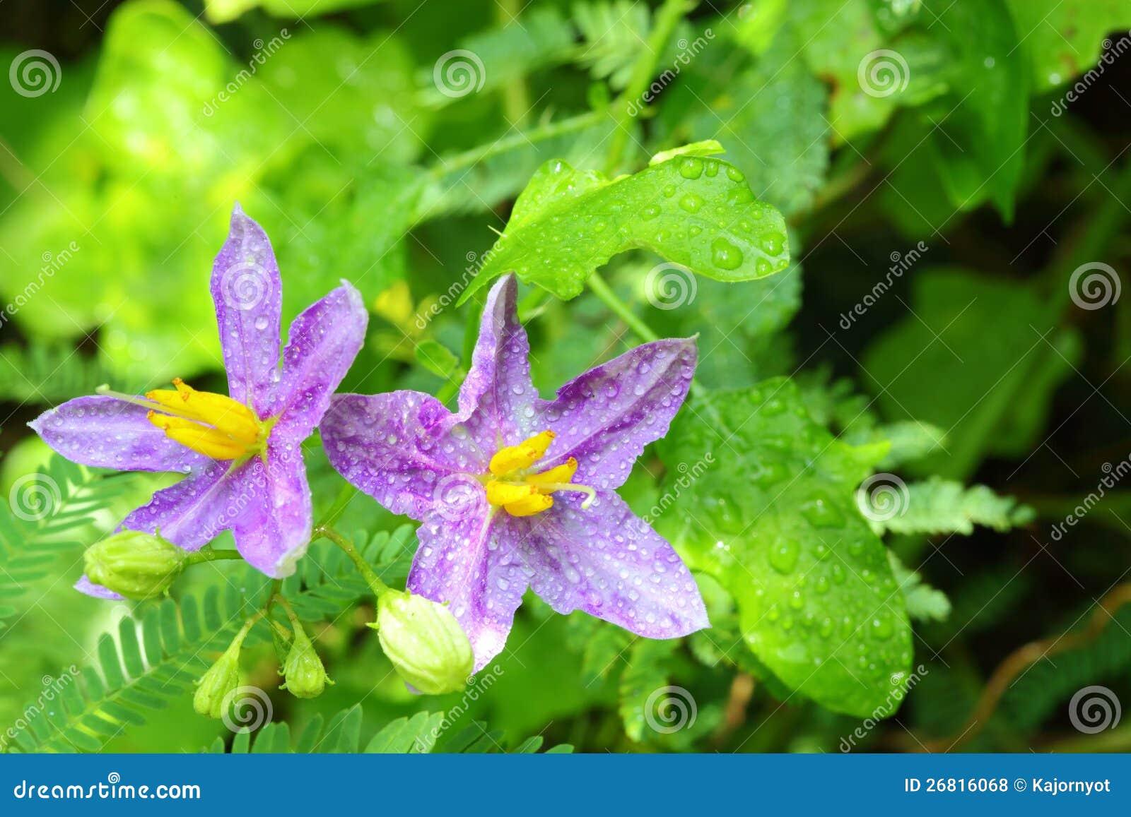 Solanum indicum kwiat zakończenie L. kwiat,
