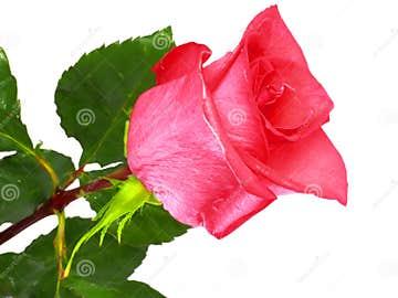 Imagenes De Rosas Solas