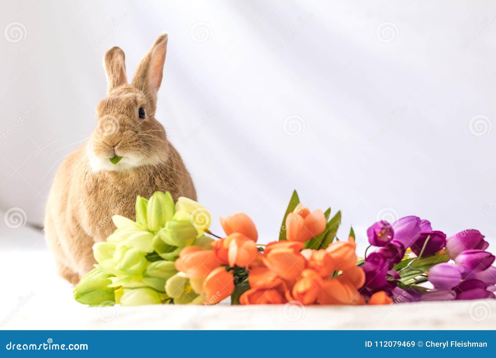 Solbrännan och Rufus färgad påskkaninkanin gör roliga uttryck mot mjuk bakgrund, och tulpan blommar i tappninginställning