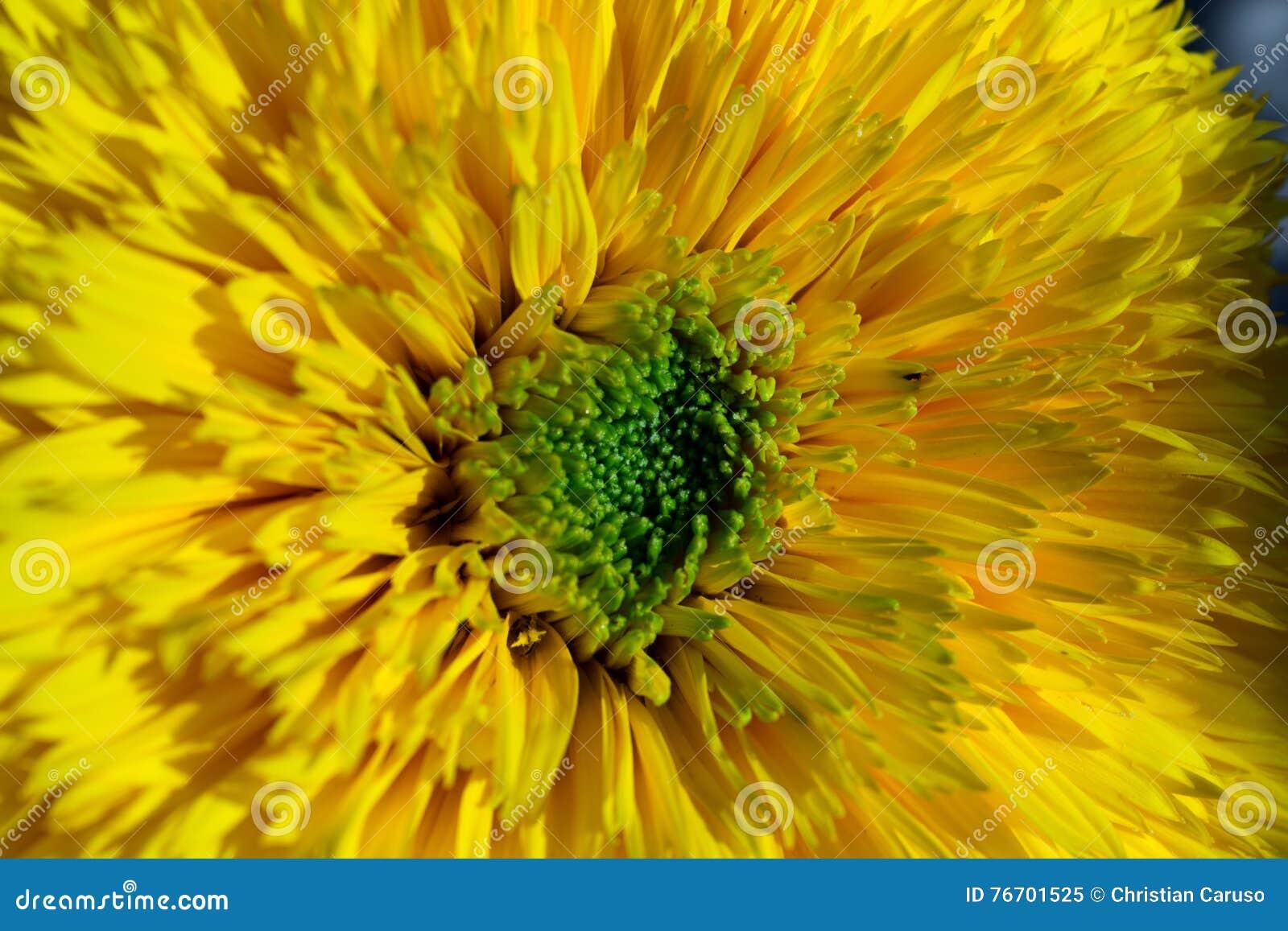 Solen och solrosen är vänner för millenier