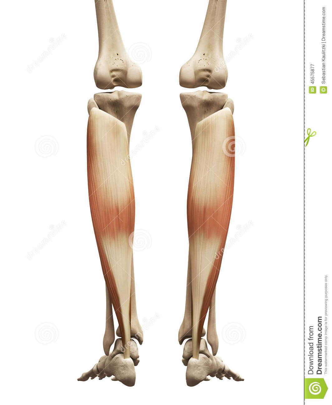 The soleus stock illustration. Illustration of bones - 45575877