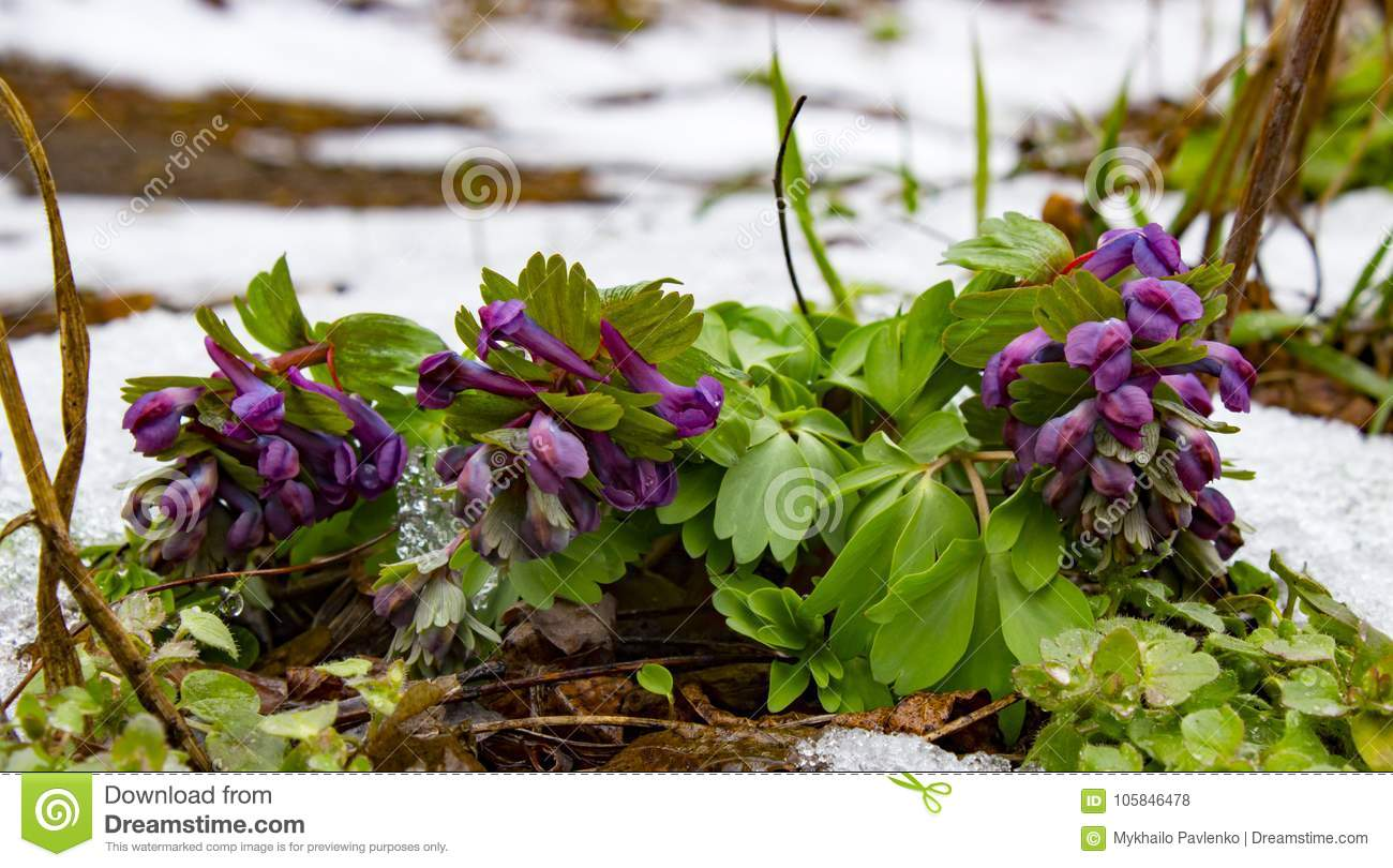 Solid Tubered Corydalis Corydalis Solida Flower That Blooms In Early