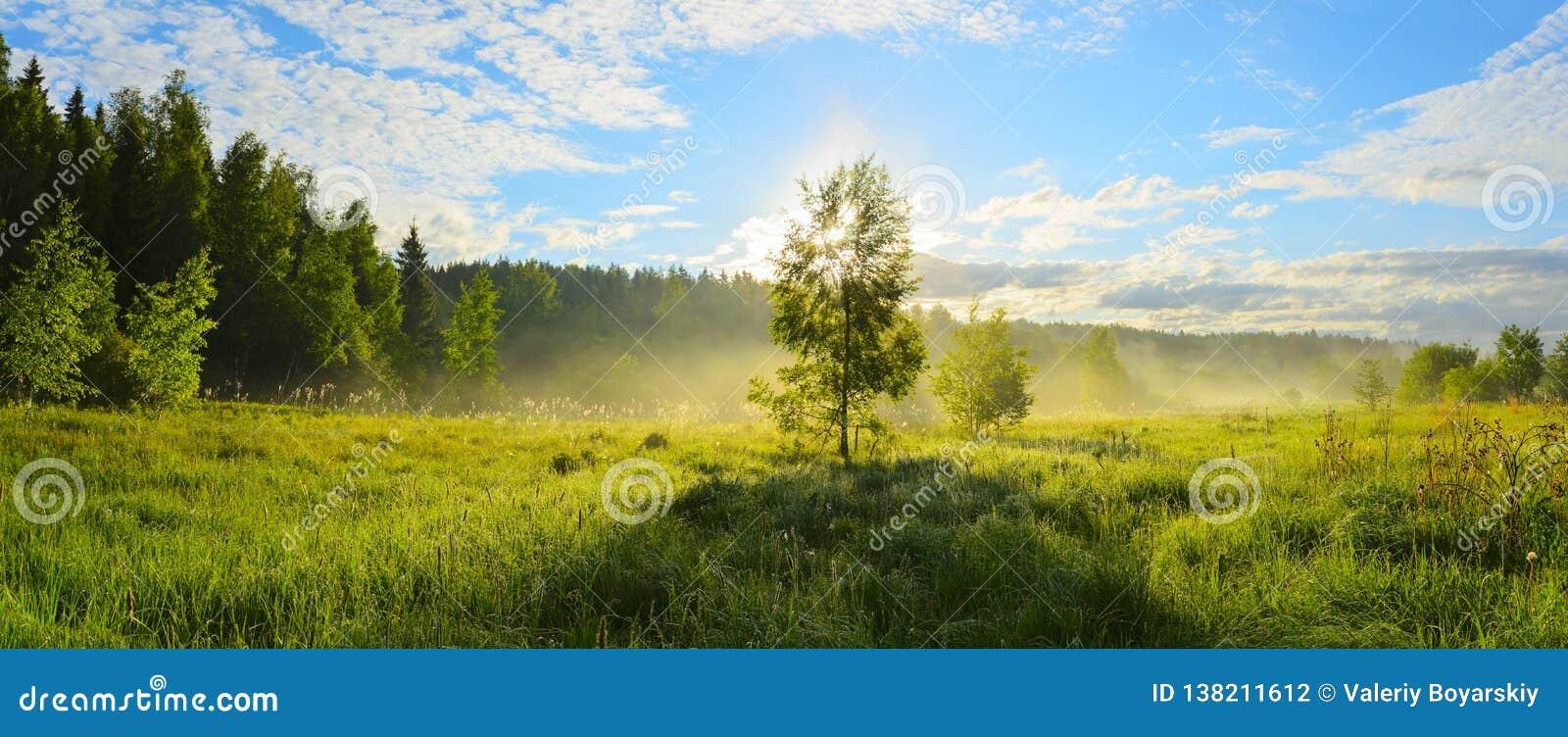 Solig panorama av dimmig gräsmatta med det ensamma växande björkträdet på en bakgrund av soluppgånghimmel