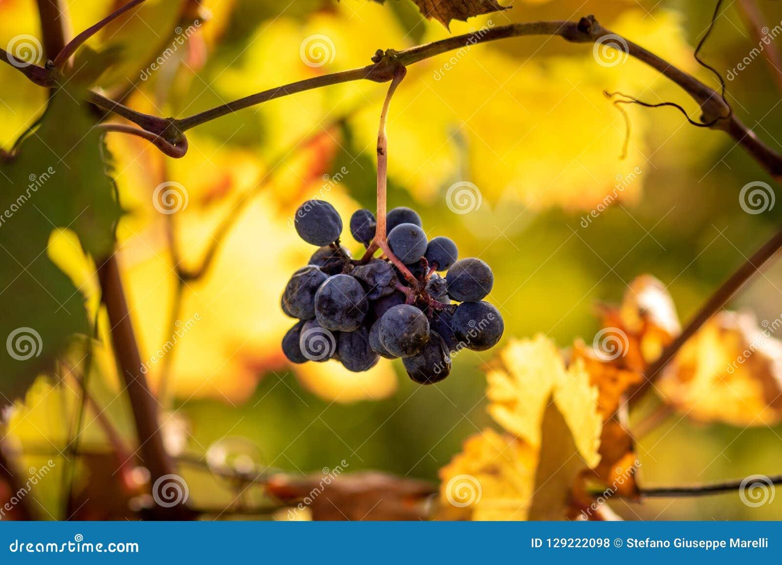 Solinställning på röda druvor i den Monferrato regionen, Italien Monferrato är engeografisk region av Piedmont Dess territorium,