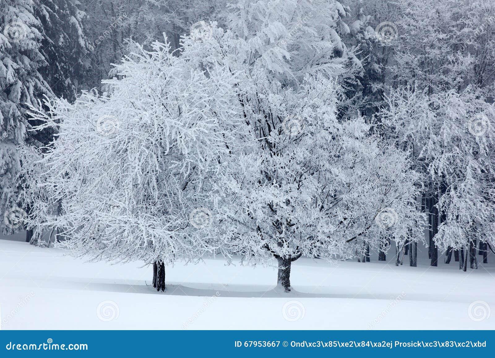 Solitaire boom twee in de winter, sneeuwlandschap met sneeuw en mist, wit bos in backgroud