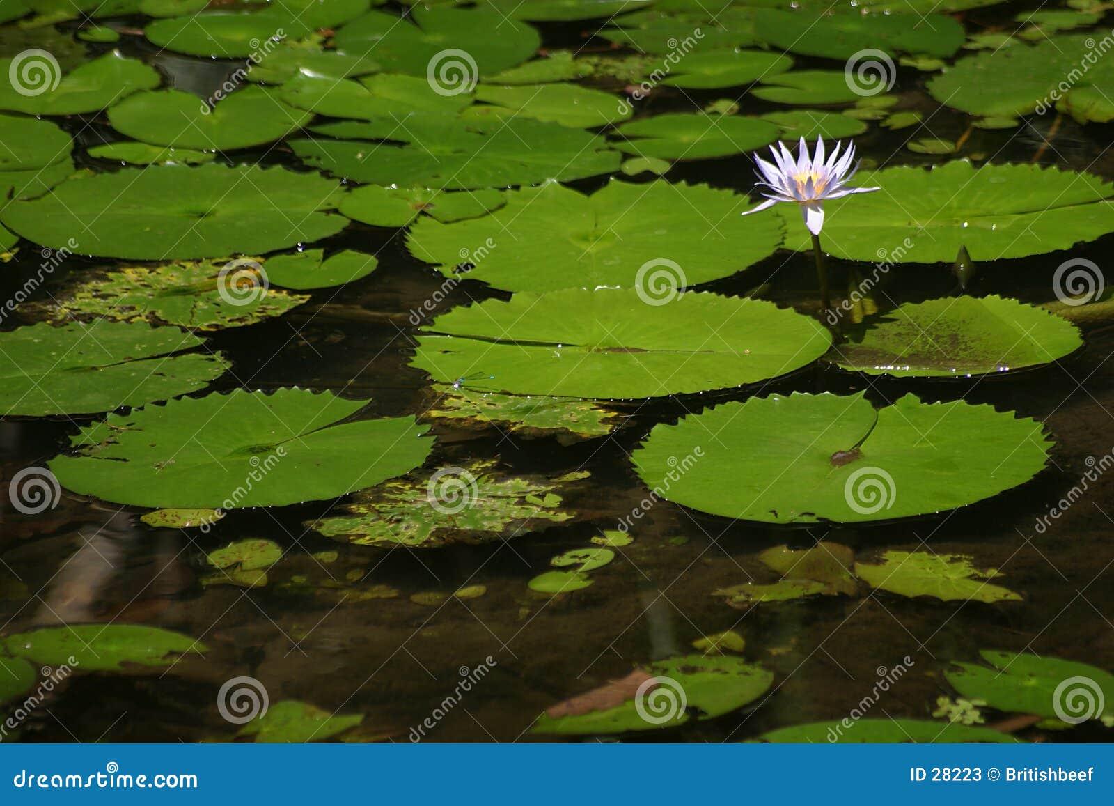Download Solitario imagen de archivo. Imagen de vegetación, flor - 28223
