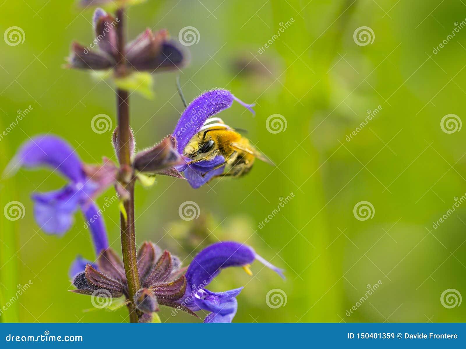 Solitario salvaje de la antena larga de la abeja