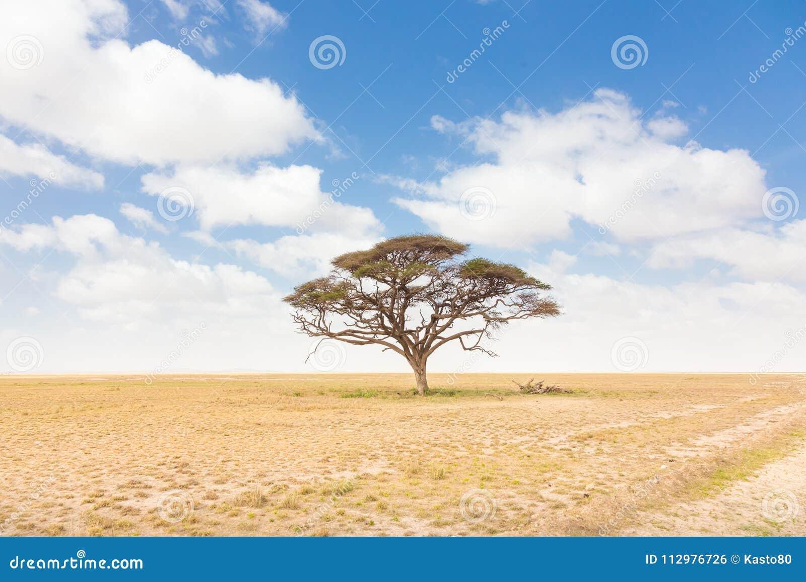 Solitary acacia tree in African savana plain in Kenya.
