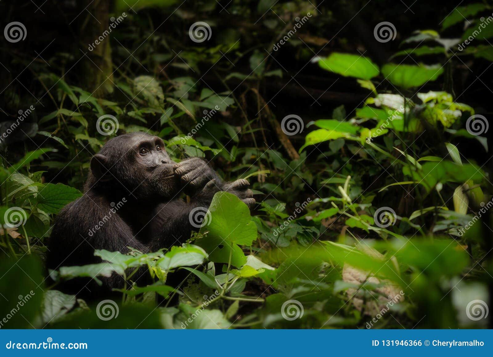 A Contemplative Chimpanzee in Uganda