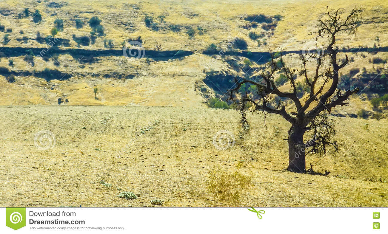 Solitary tree in parched summer landscape