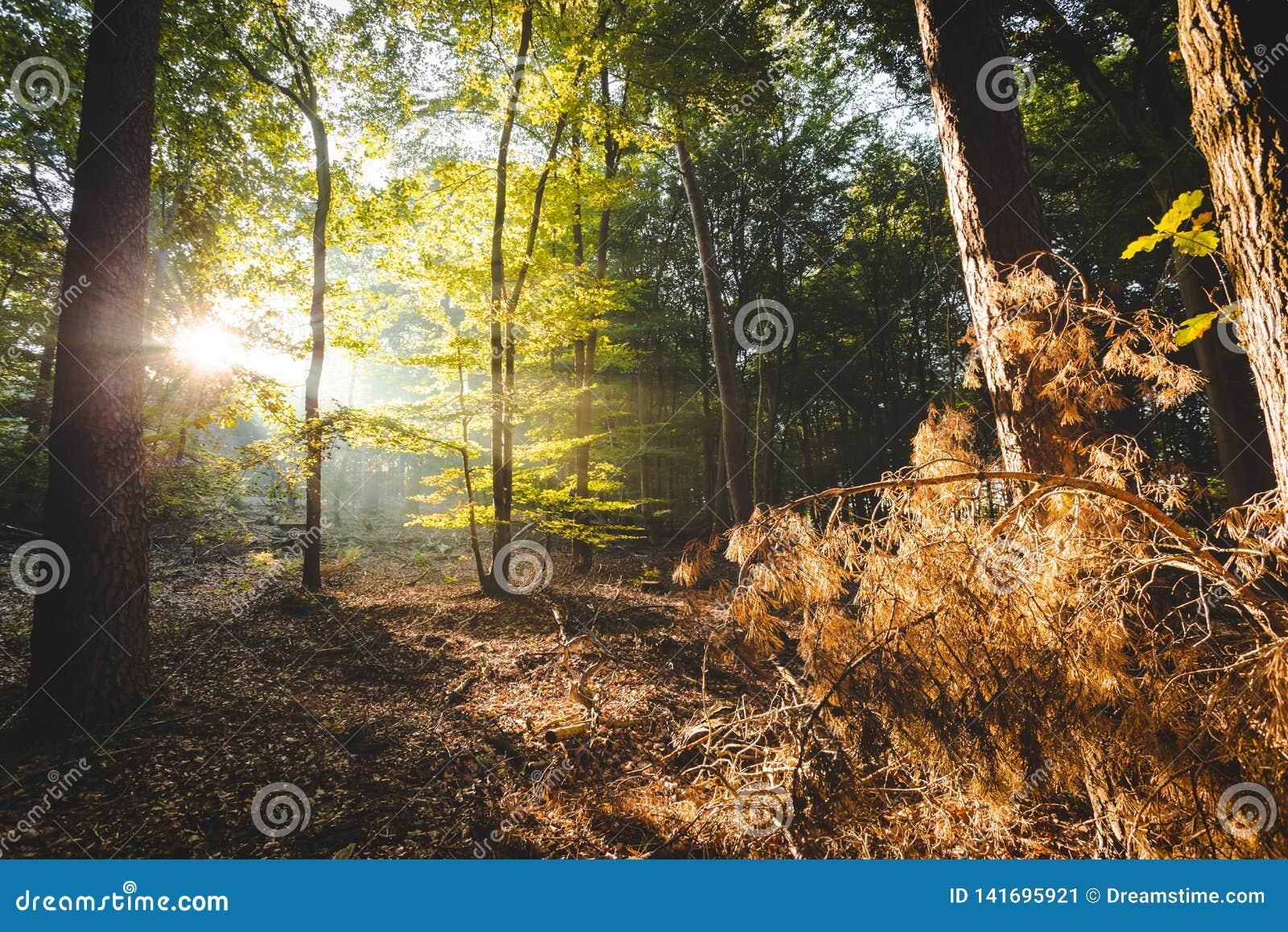 Solljus som kommer till och med skogen som upp tänder orange filialer i förgrund som ger en devinekänsla