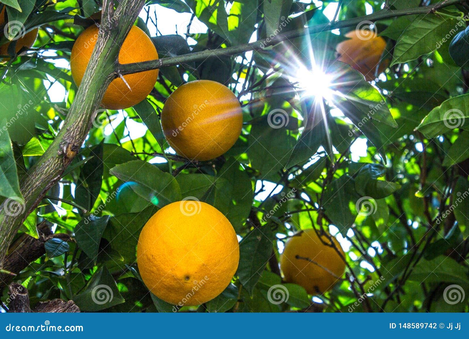 Solljus som passerar till och med ett citronträd