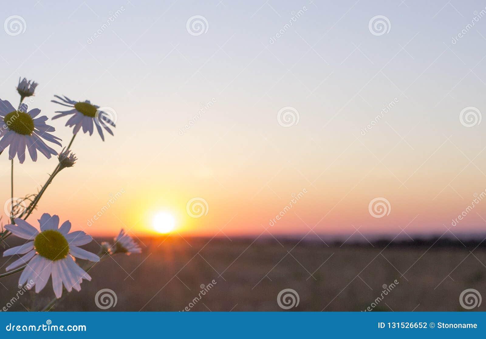 Solnedgång i fältet med blommor i förgrunden