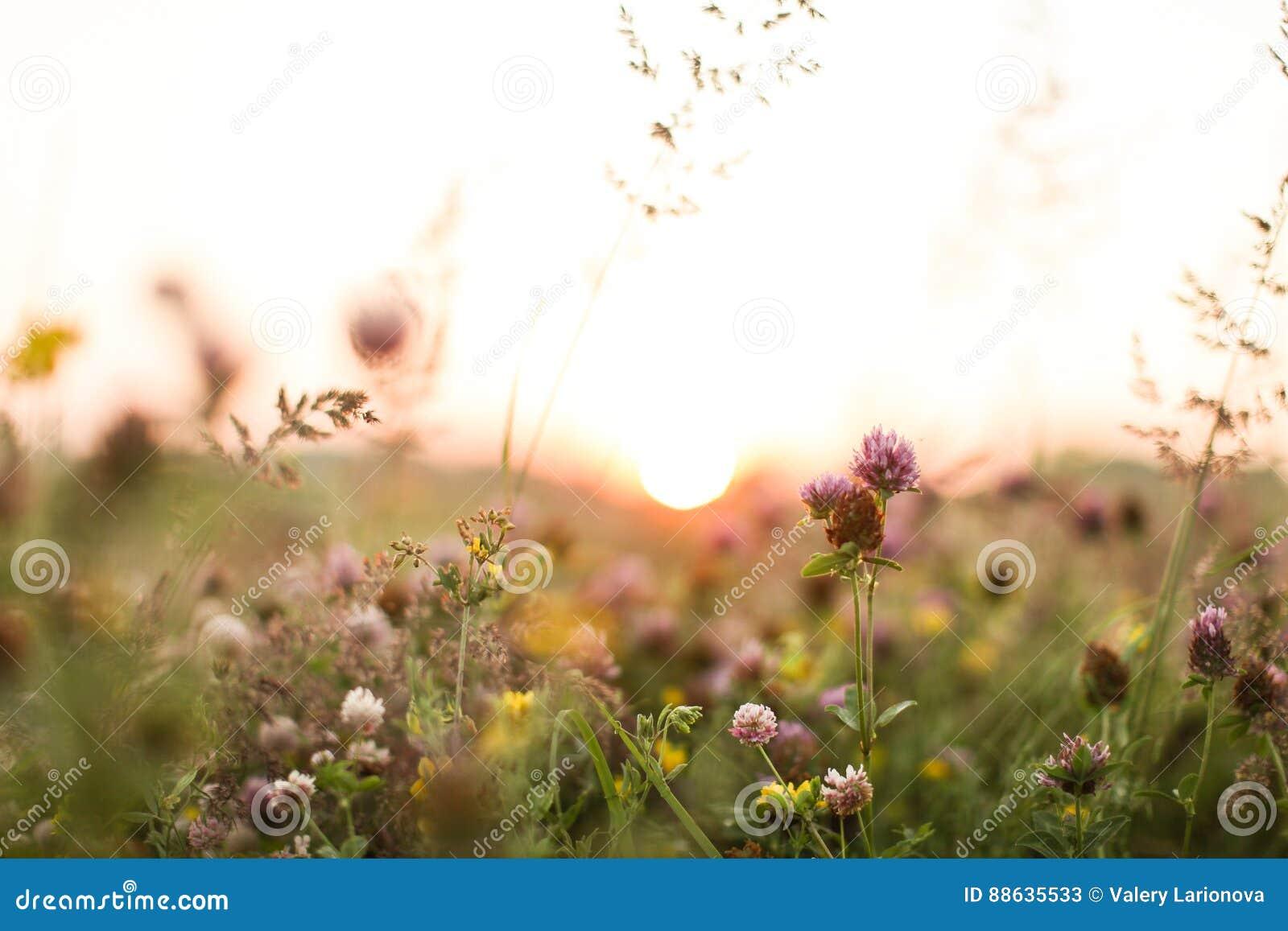 Solnedgång i växt av släktet Trifoliumfält