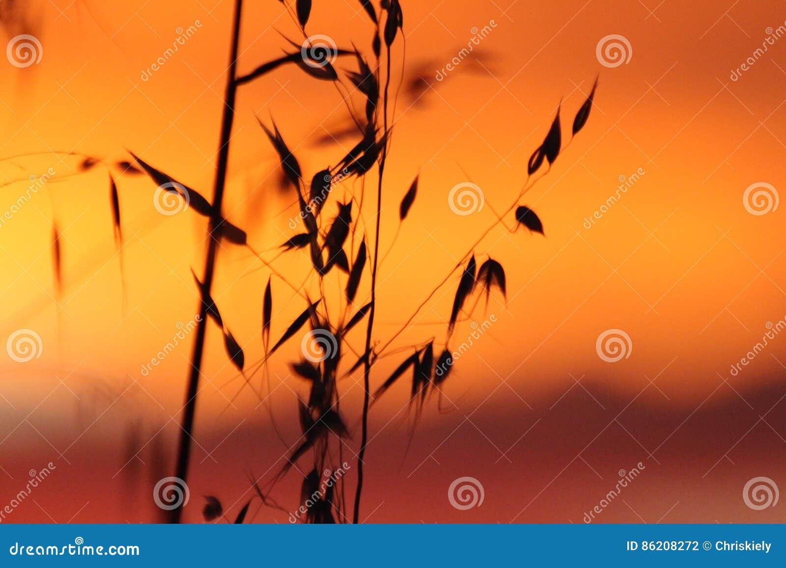 Solnedgång på veteskörd
