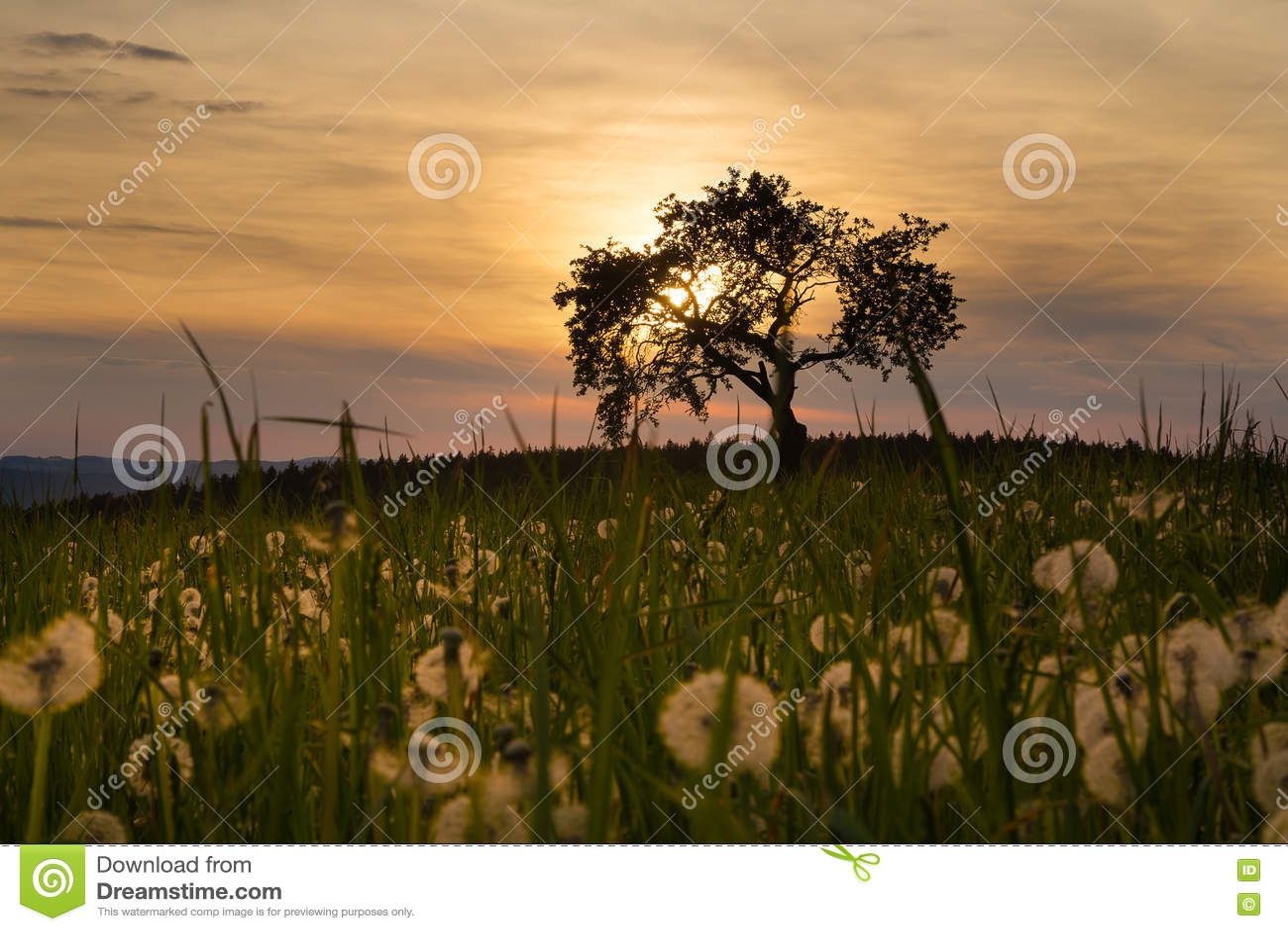Solnedgång, träd och maskrosor