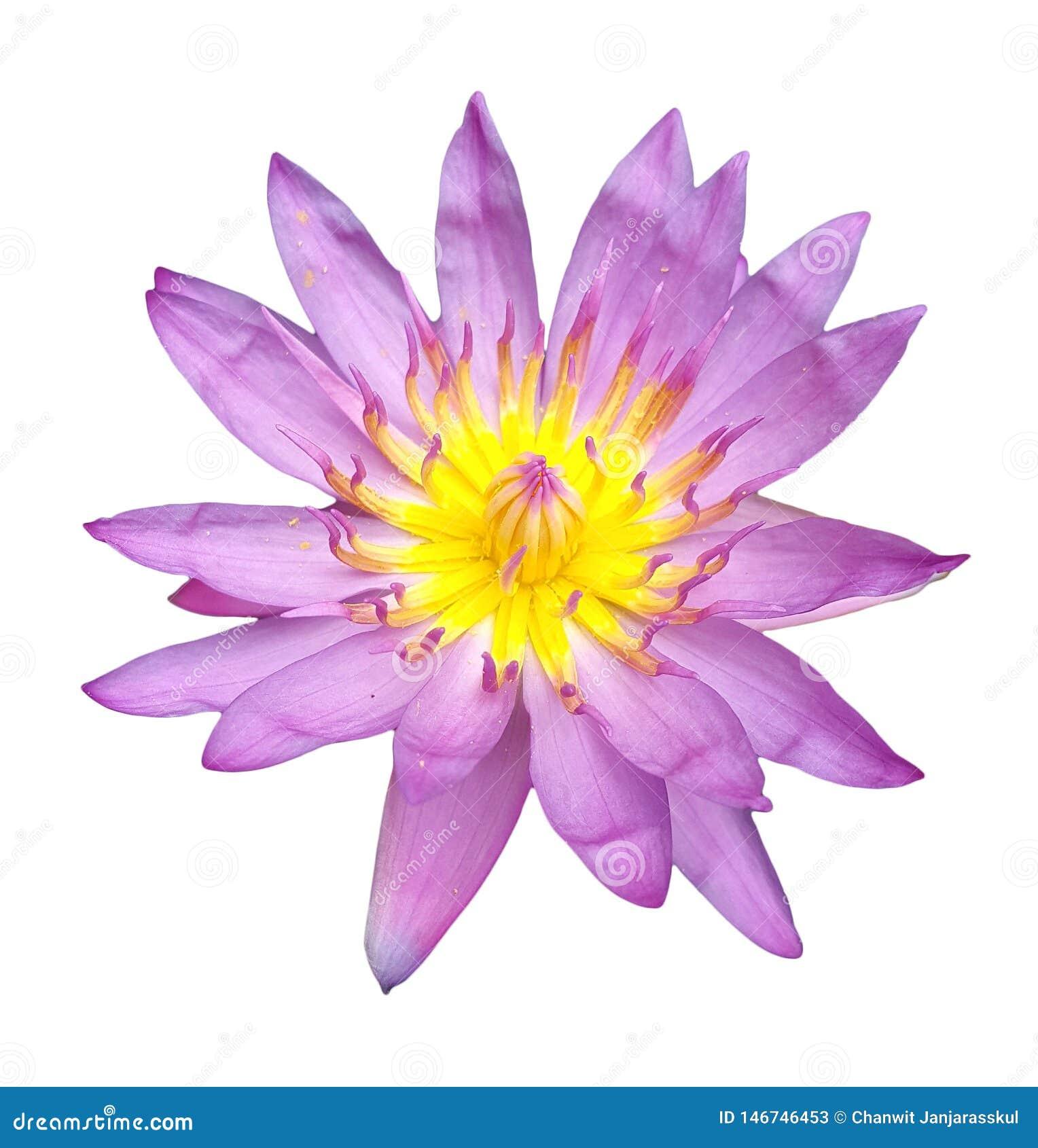 Solo loto hermoso del rosa del flor aislado en el fondo blanco