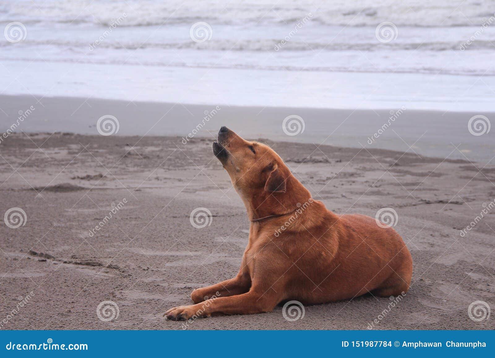 Solo perro marrón que se sienta en la playa y que grita por la mañana en fondo del mar de la naturaleza