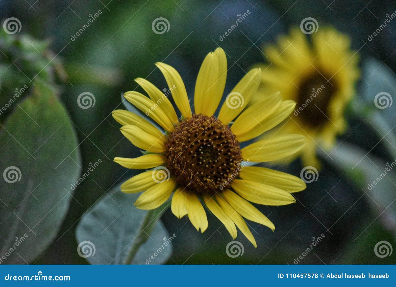 Solros som är naturlig i trädgård