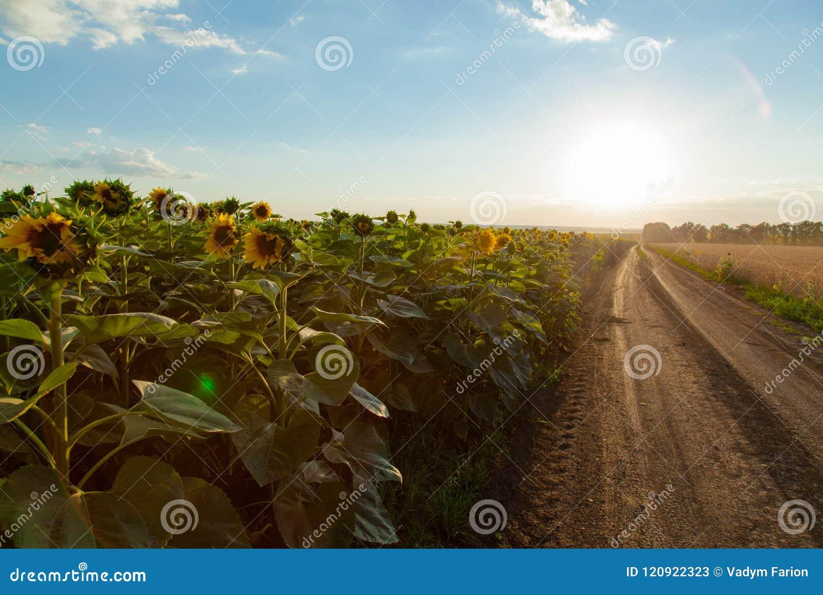 Solrosfälten på som lämnas grusvägsidorna i horen