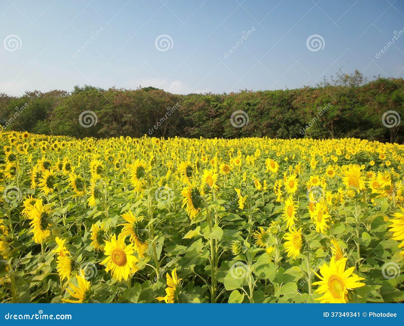 Solrosor i sommar