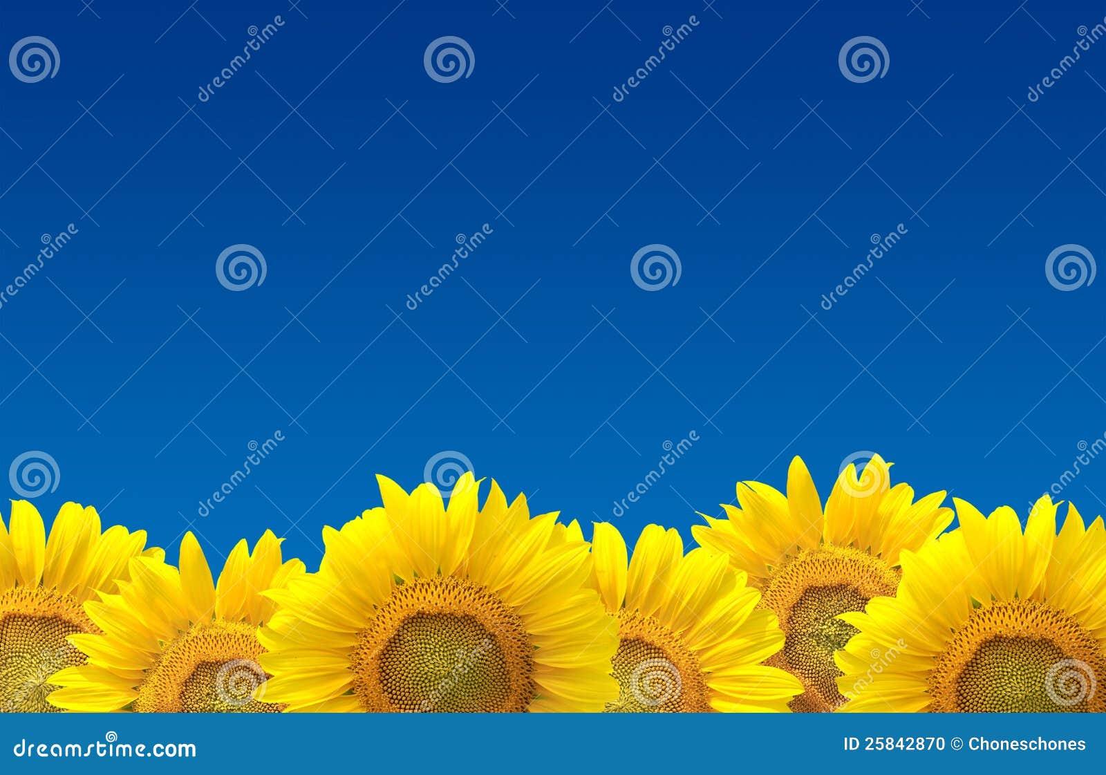 Solrosor på den blåa skyen