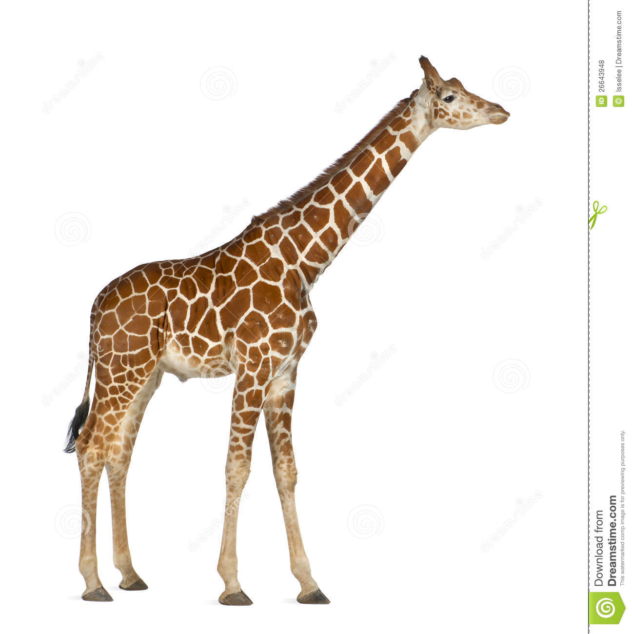 Somali Giraffe, commonly known as Reticulated Giraffe, Giraffa ...