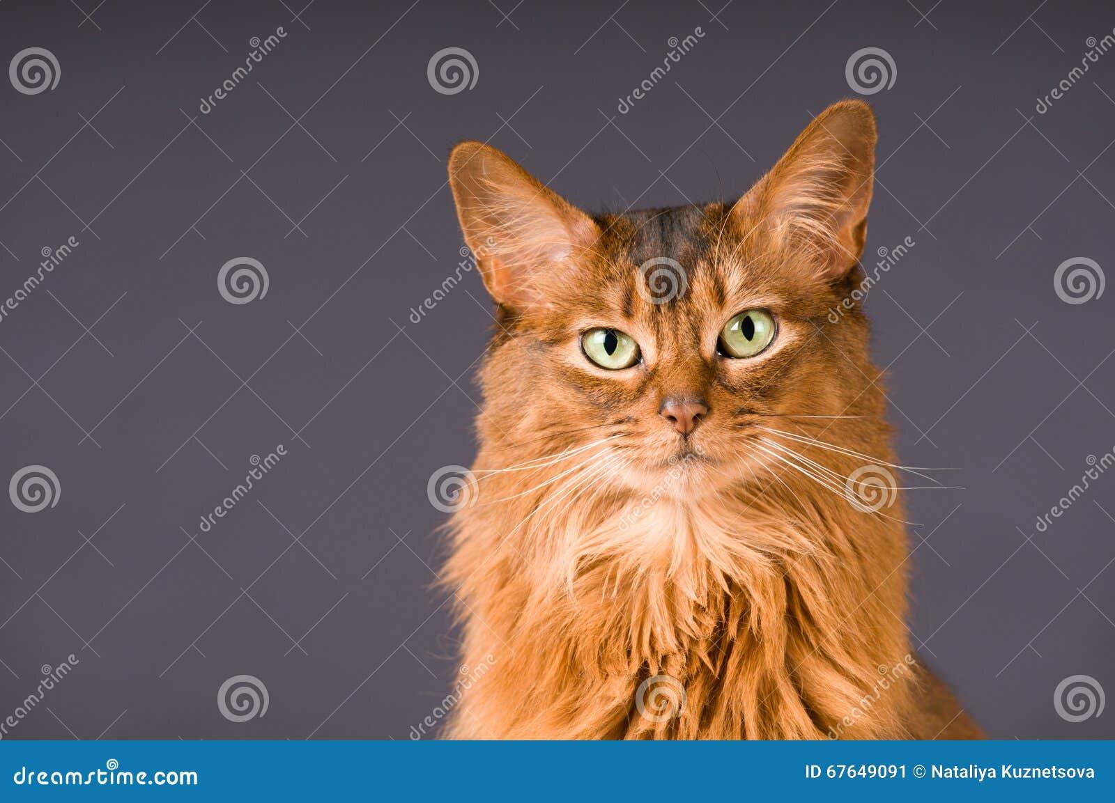 Somalisch kattenportret