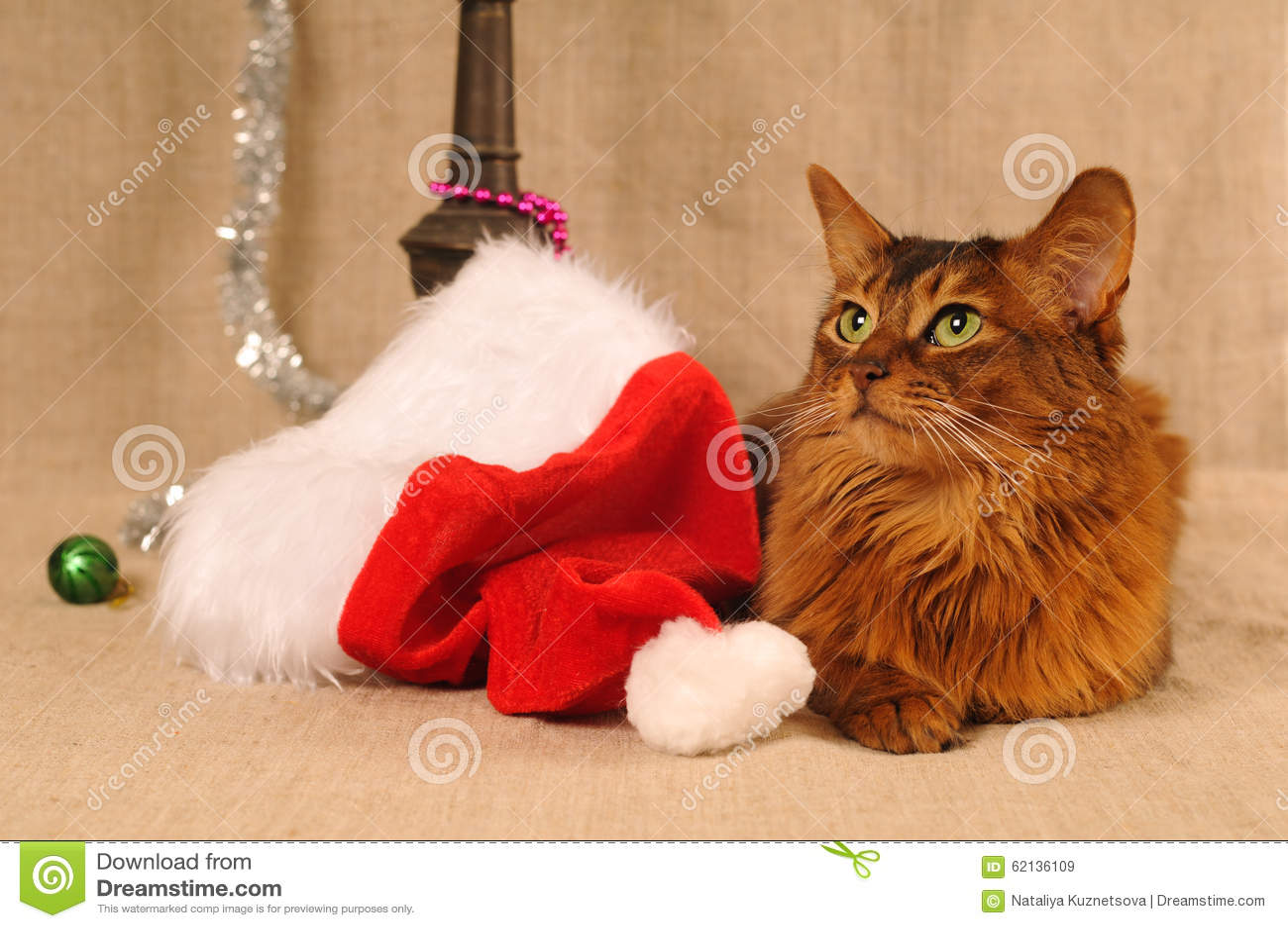 Somalisch kattenportret met Kerstmanhoed
