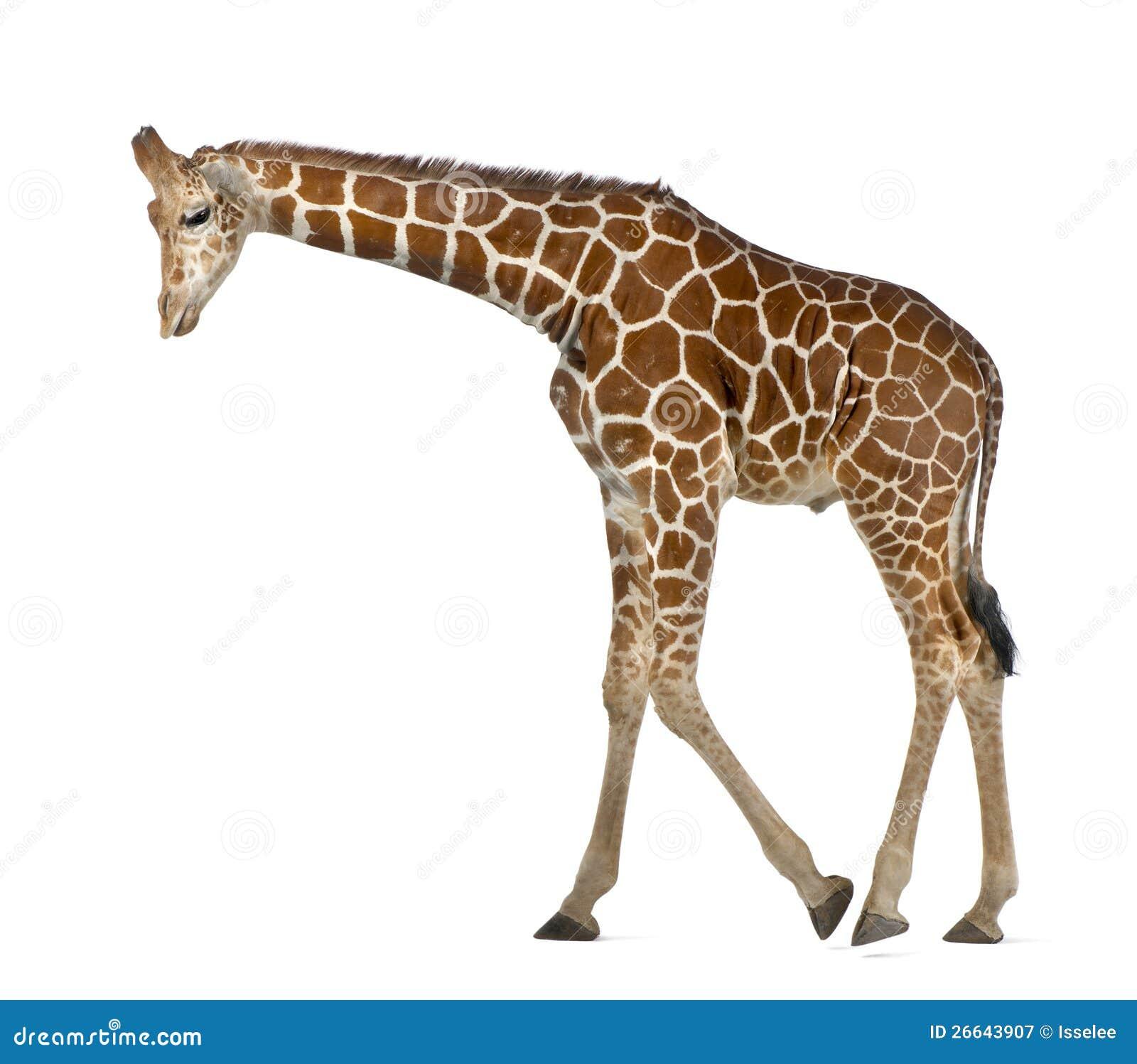 Somalische Giraf