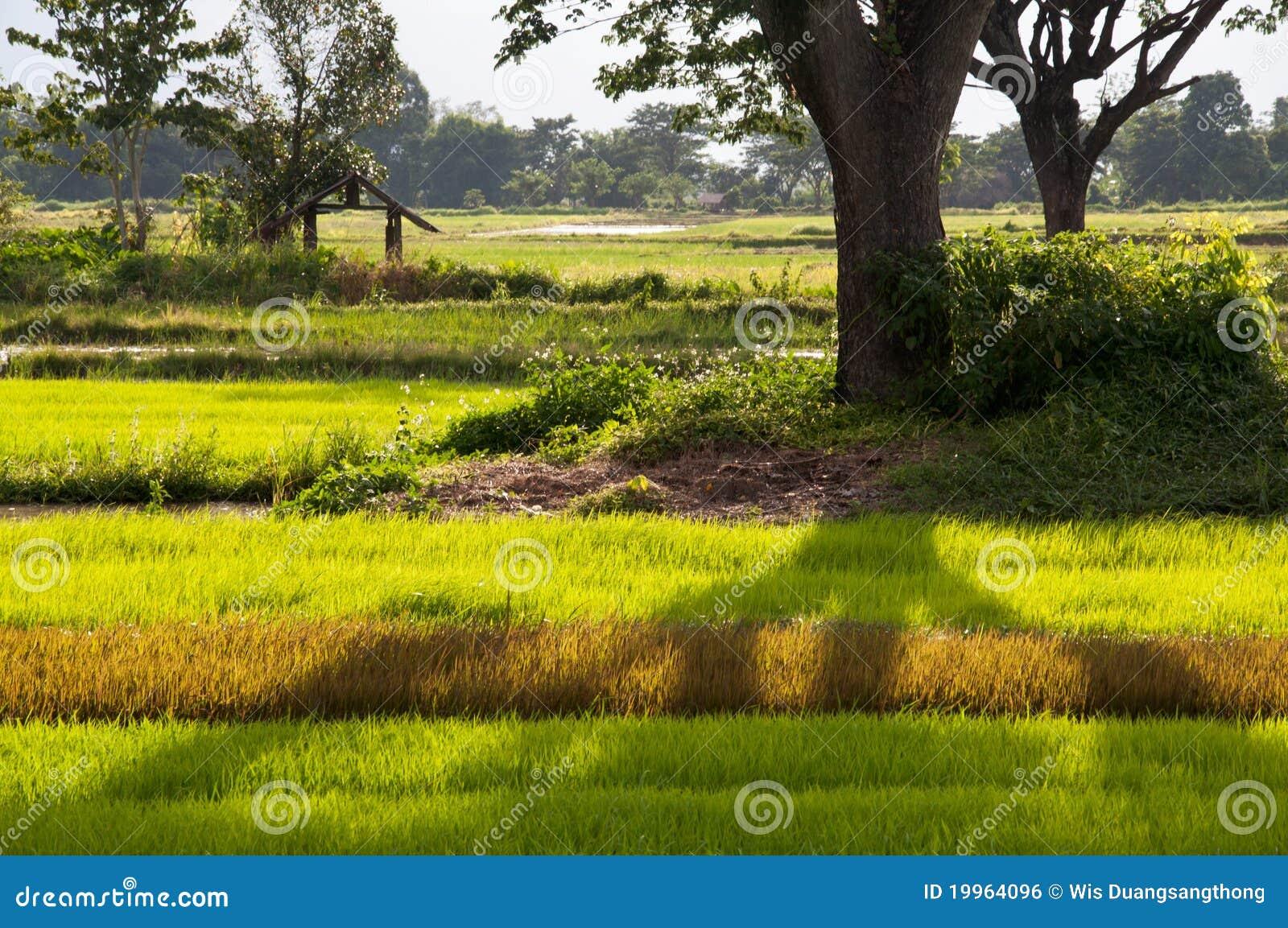 Sombra del árbol en Ricefield