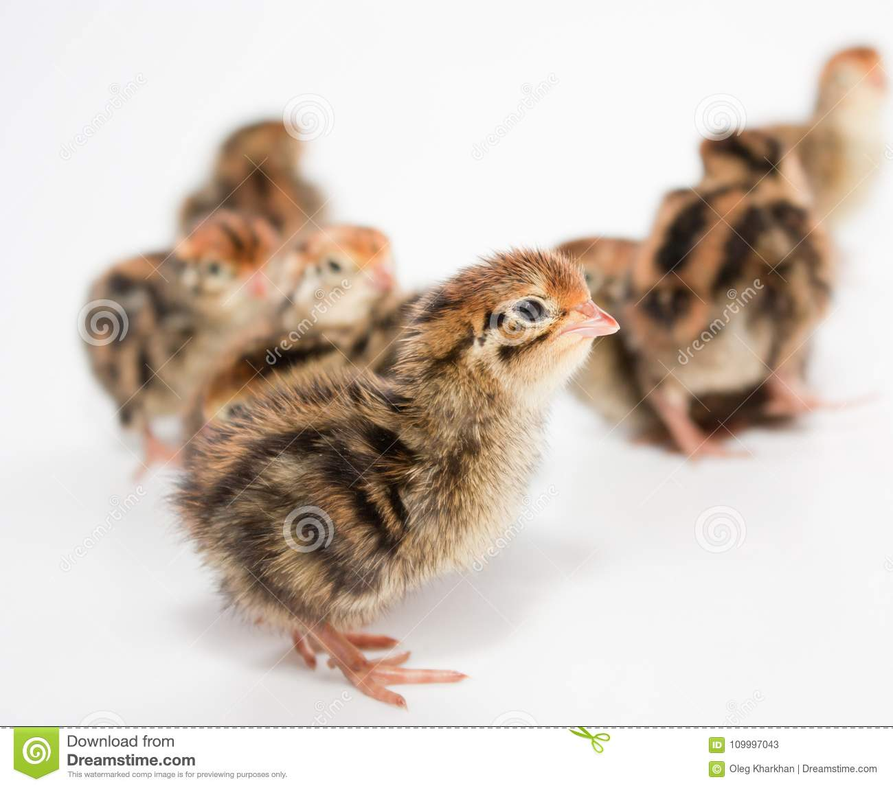 Some Baby Quail Stock Image Image Of Couple Brown 109997043