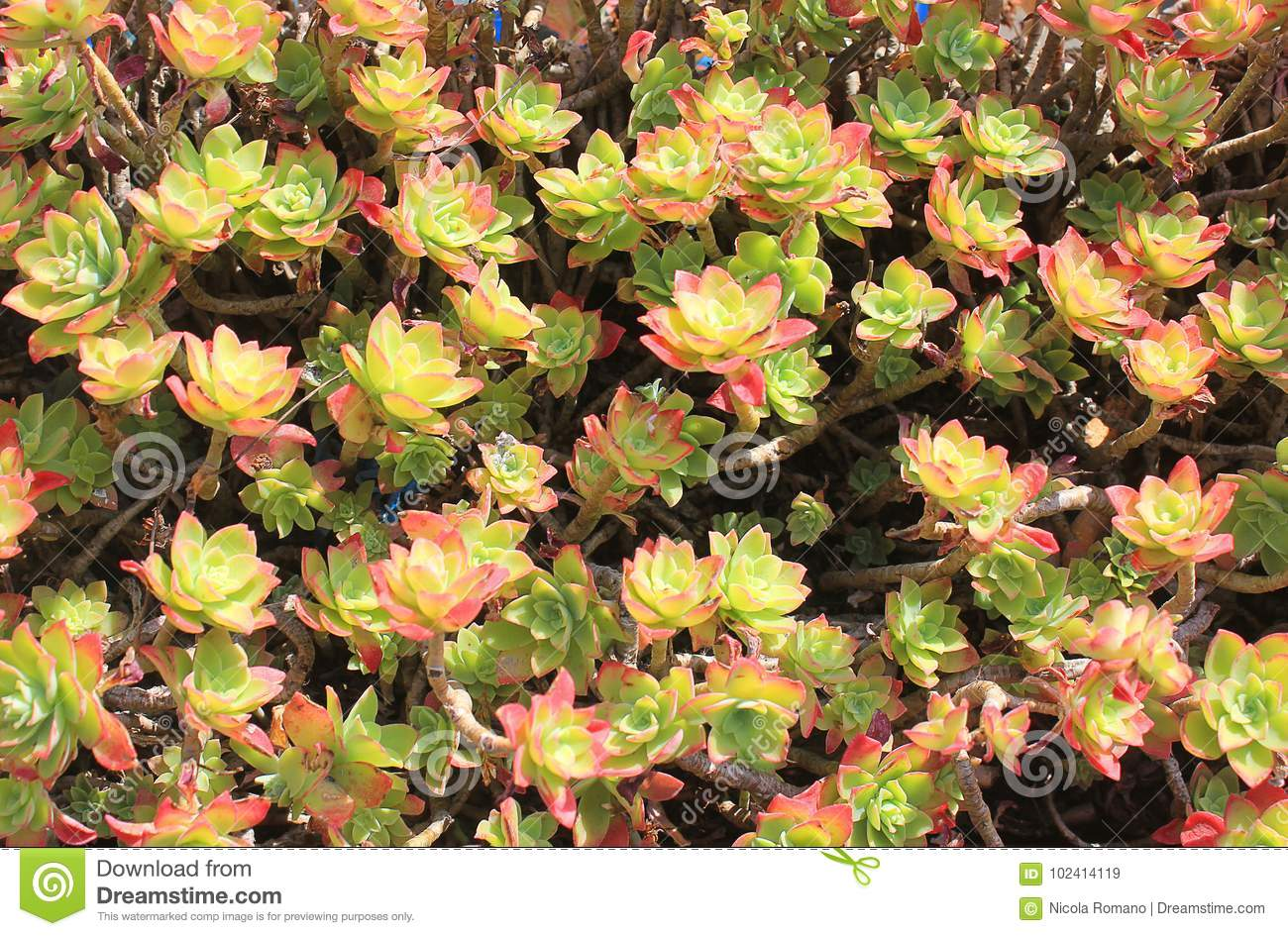 Flowers of a succulent plant stock image image of vegetation download flowers of a succulent plant stock image image of vegetation garden 102414119 mightylinksfo