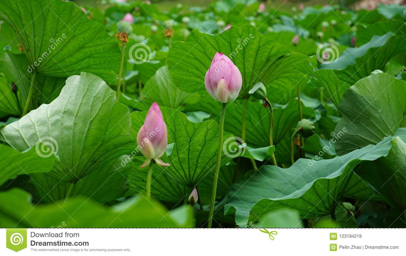Some Lotus Flowers And Buds Are Standing In Pond Stock Image Image