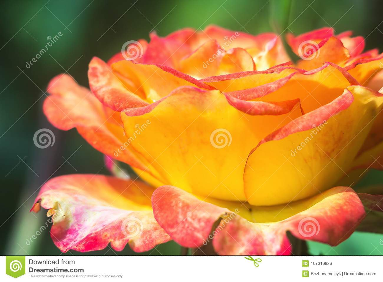 Some Orange Yellow Pink Roses In The Garden Against Green Background