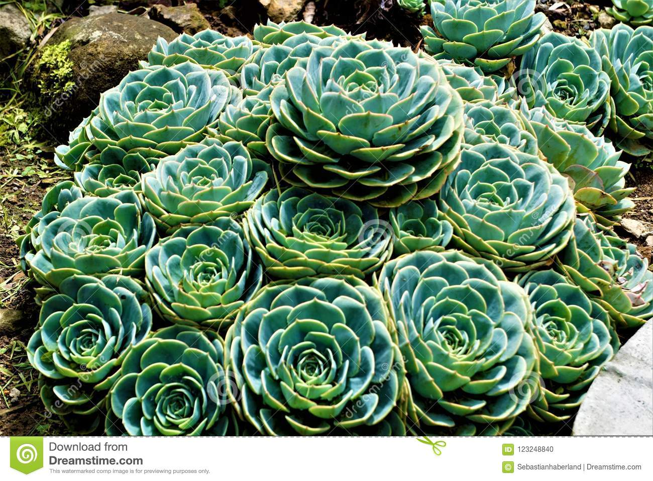 Some Sempervivum Plants Spotted In Stone Garden Stock Photo - Image on garden design in philippines, garden design in florida, butterfly garden in costa rica,