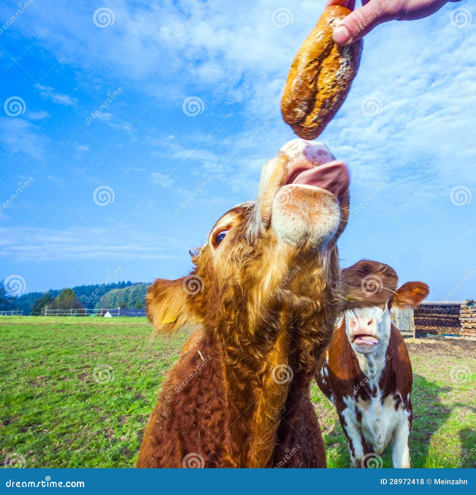Somebody karmi bydło z chlebem przy łąką