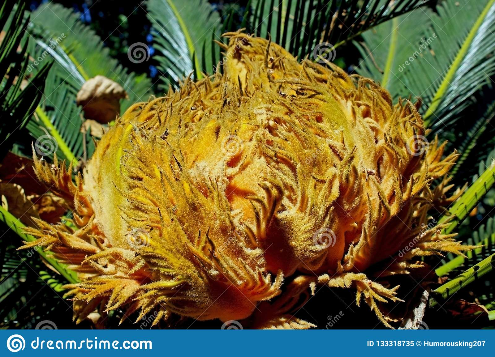Cycad Flower stock image  Image of trees, palms, naked