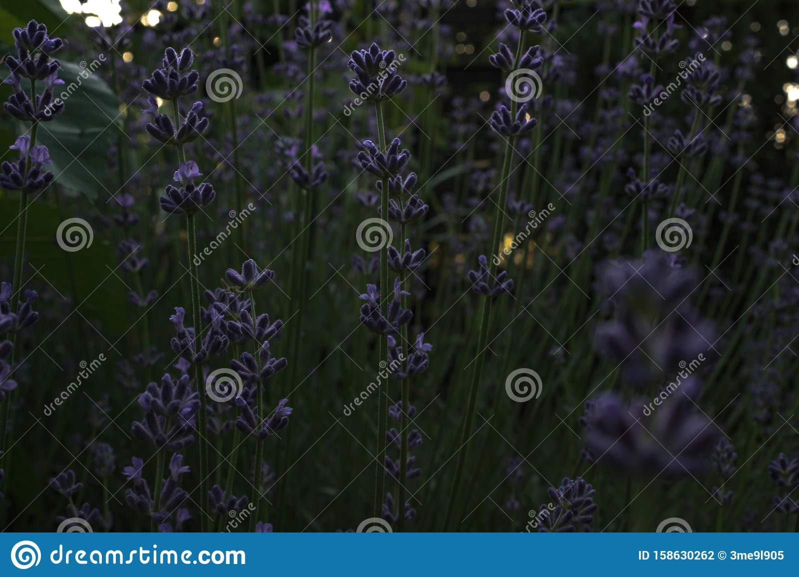 A Bush Of Fragrant Lavender Blossoms Against The Background Of A