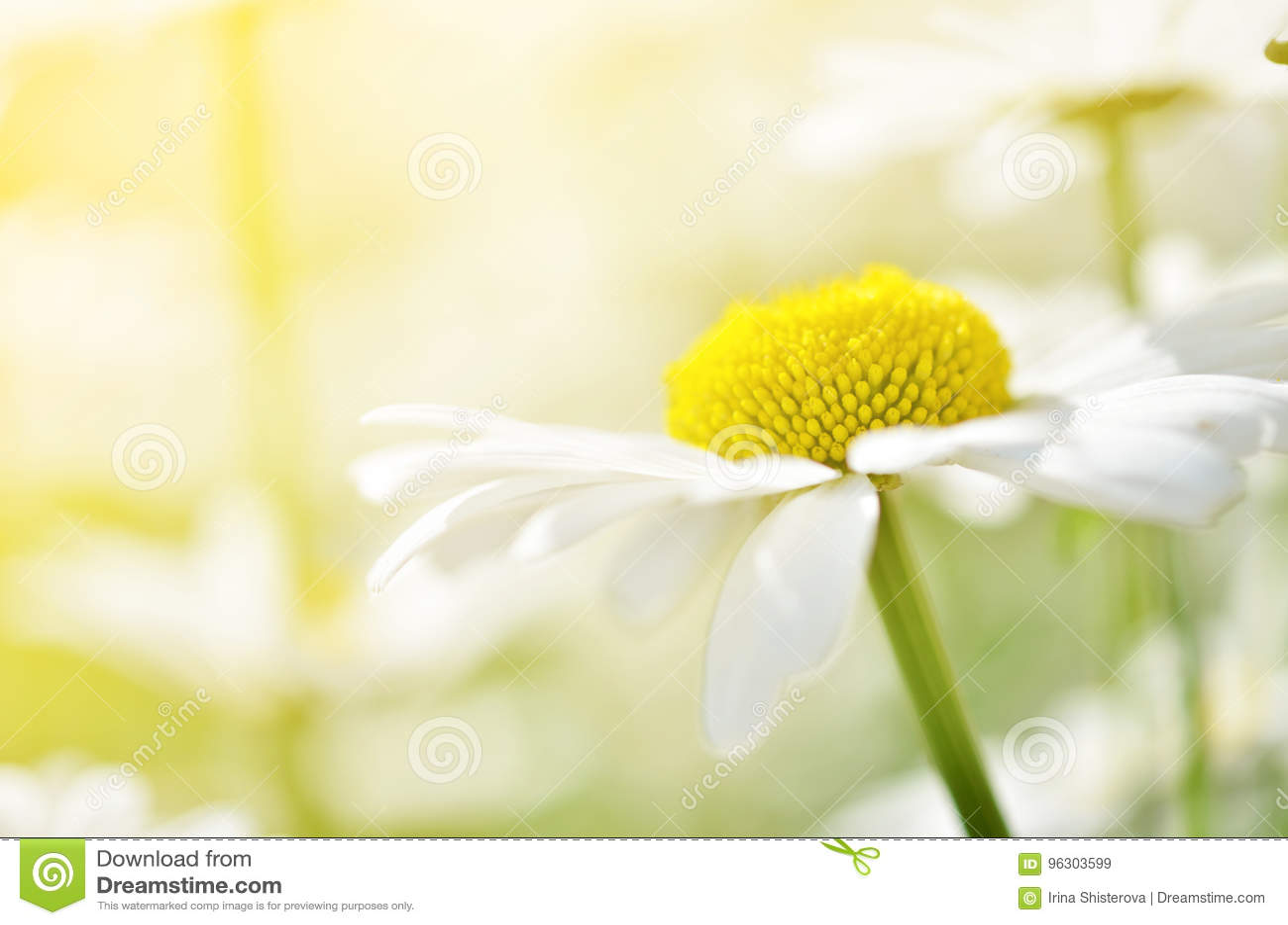 Sommar blommar kamomillblomningar på äng Storen specificerar!