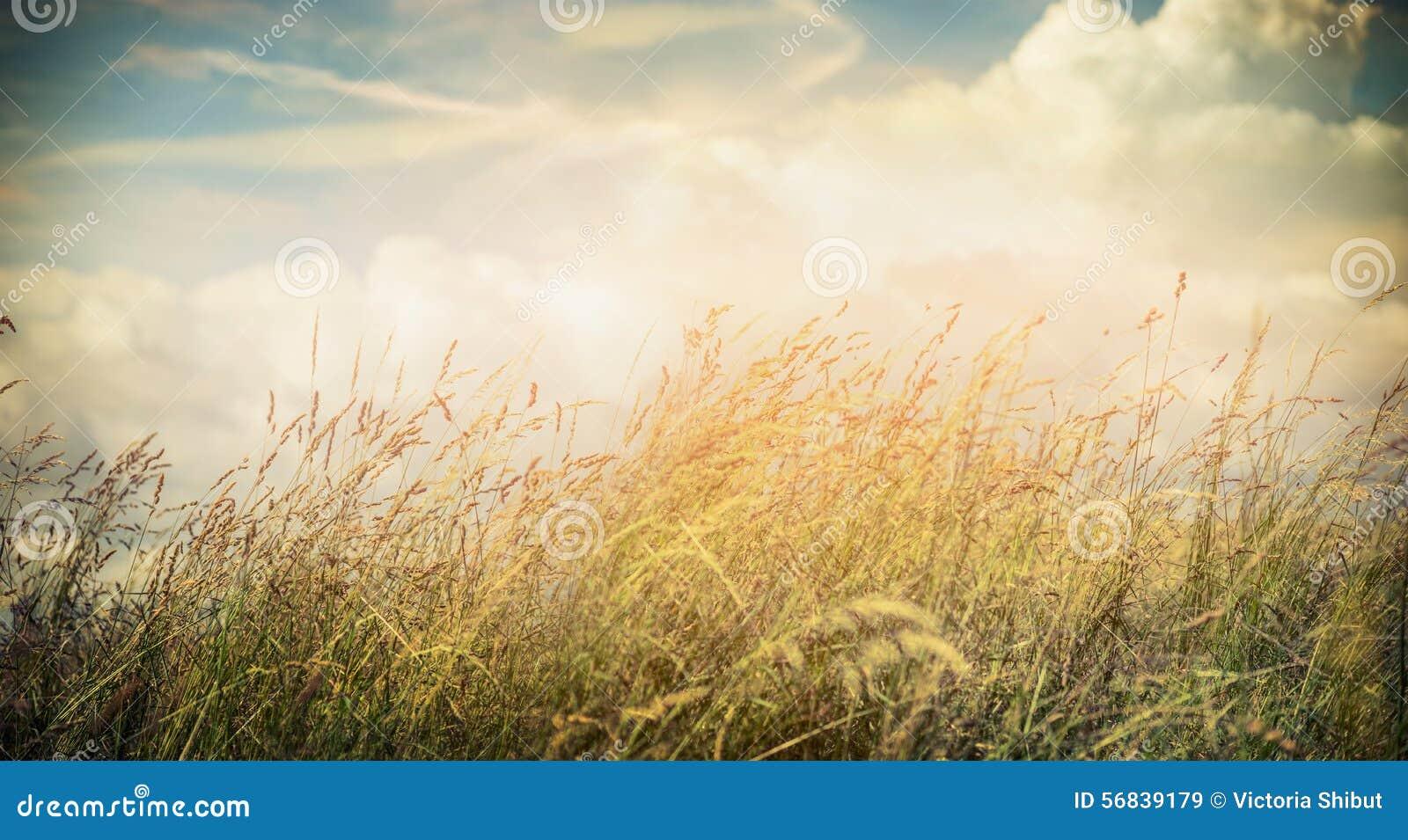 Sommar- eller höstfältgräs på härlig himmelbakgrund, baner