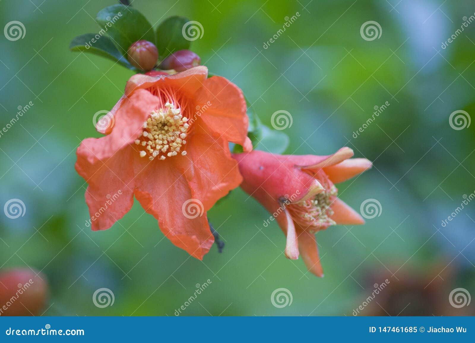 Sommarblommor, röd flowers,pomegranate blomma