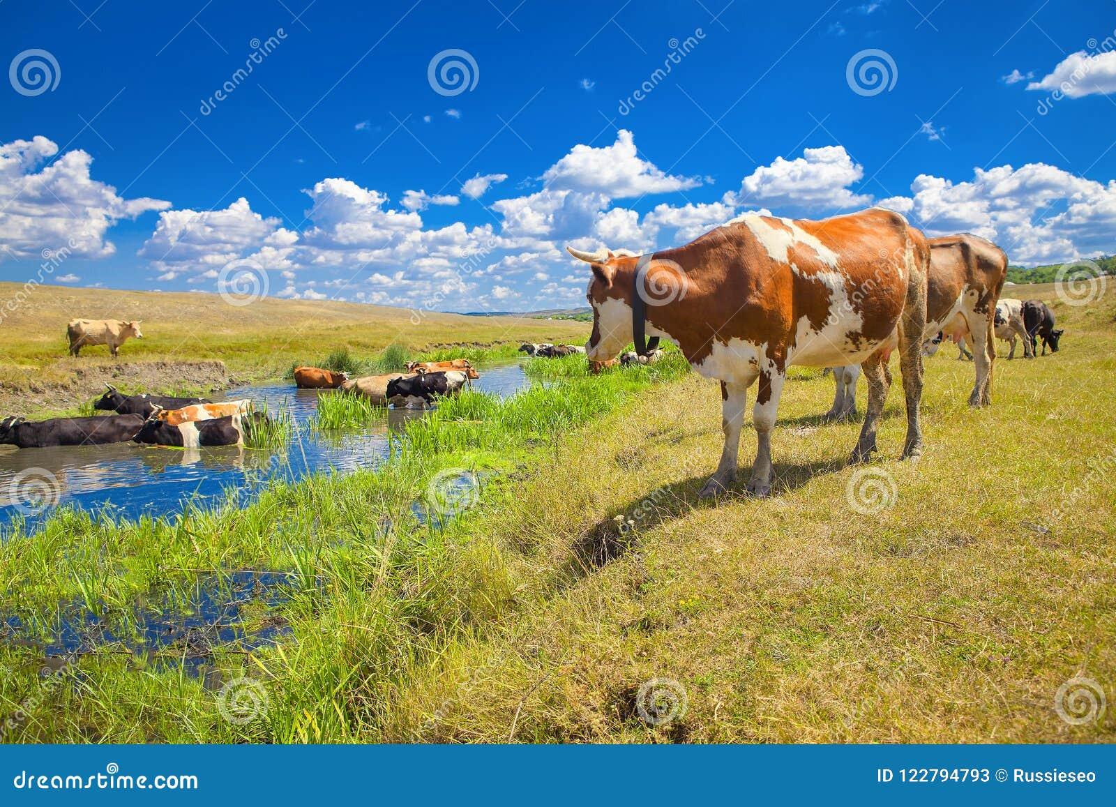 Sommaren landskap med kor